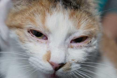 猫の上部気道感染症